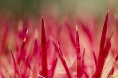 Espinhos da planta do succulent fotografia de stock