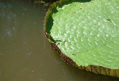Espinhos do amazonica de Victoria foto de stock