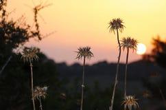 Espinhos secos no campo no por do sol foto de stock royalty free