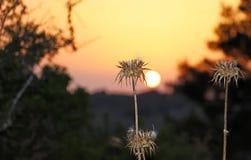 Espinhos secos no campo no por do sol imagem de stock royalty free