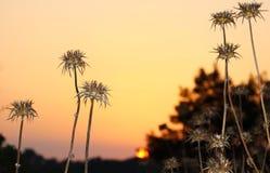 Espinhos secos no campo no por do sol imagens de stock royalty free
