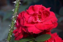 Espinhos vibrantes das rosas vermelhas foto de stock royalty free
