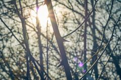 Espinhos viciosos no arbusto Espinhos afiados e ameaçando em uma planta com constipação foto de stock royalty free