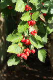 Espinhoso ordinário do espinho Foto de Stock Royalty Free