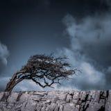 Espino azotado por el viento en la cicatriz de Twistleton, valles de Yorkshire imagen de archivo
