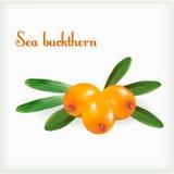 Espino cerval de mar con las hojas verdes Imágenes de archivo libres de regalías
