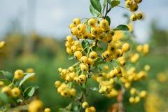 Espino cerval hermoso - fruta amarilla Foto de archivo