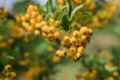 Espino cerval hermoso - fruta amarilla Imagen de archivo libre de regalías