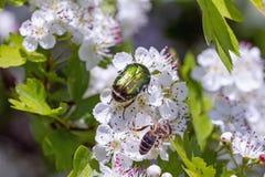Espino con los escarabajos y la abeja de la flor Fotografía de archivo