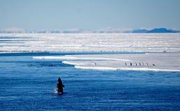 Espion d'orque sautant à cloche-pied sa proie Photo stock