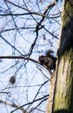 Espionnage d'écureuil Photographie stock libre de droits