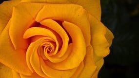 Espiral de rosas Imagenes de archivo