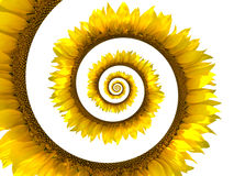 Espiral do girassol Fotografia de Stock Royalty Free