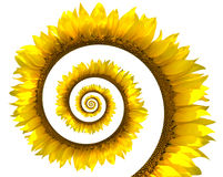 Espiral do girassol Fotografia de Stock