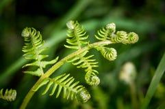 Espirales de la fronda del helecho que despliegan en primavera Imagenes de archivo
