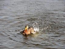 Espirrando a natação do pato no rio Imagem de Stock Royalty Free
