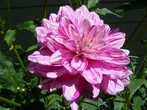 Esplendor cor-de-rosa Imagens de Stock