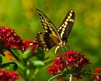 Esplendor de la mariposa Imágenes de archivo libres de regalías