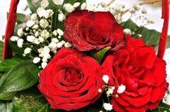 Esplendor de las rosas rojas de su belleza y frescura Fotos de archivo