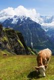 Esplendor pastoral nos cumes suíços Imagens de Stock