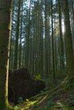 Esplorando nel legno della Norvegia fuori di Bergen Fotografia Stock