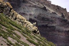 Esploratore di Bharal su una scogliera Fotografie Stock