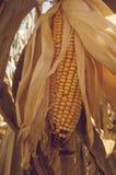 Esplori il grano fotografia stock libera da diritti