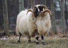 Espolón de las ovejas Foto de archivo libre de regalías