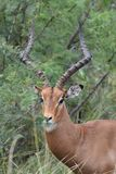 Espolón del impala Foto de archivo