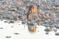 Espolón del impala, melampus del Aepyceros, agua potable en la puesta del sol Foto de archivo libre de regalías