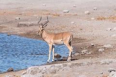 espolón Negro-hecho frente del impala, melampus del Aepyceros, en un waterhole Imagenes de archivo