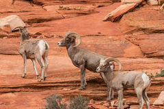 Espolones de las ovejas de Bighorn del desierto Fotos de archivo