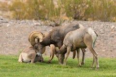 Espolones de las ovejas de Bighorn del desierto Imagen de archivo libre de regalías