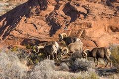 Espolones de las ovejas de Bighorn del desierto que pastan Foto de archivo libre de regalías