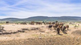 Espolones en África imagen de archivo libre de regalías