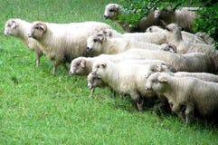 Espolones y ovejas Fotografía de archivo libre de regalías