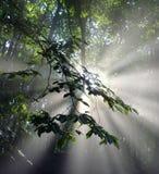 Esponga al sole i raggi tramite le foglie in una foresta del faggio Fotografia Stock