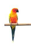 Esponga al sole il pappagallo di conuro che grida su un ramo isolato su fondo bianco Immagini Stock Libere da Diritti