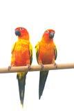 Esponga al sole il pappagallo di conuro che grida su un ramo isolato su fondo bianco Fotografie Stock