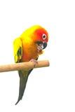Esponga al sole il pappagallo di conuro che grida su un ramo isolato su fondo bianco Fotografia Stock