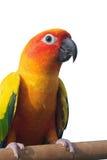 Esponga al sole il pappagallo di conuro su un ramo isolato su fondo bianco Immagini Stock