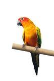 Esponga al sole il pappagallo di conuro su un ramo isolato su fondo bianco Immagine Stock