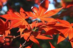 Esponga al sole la depressione dello shinnigh delle assi le foglie dell'albero coltivato del acer fotografia stock