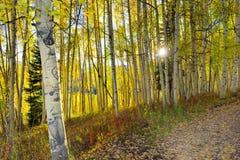Esponga al sole splendere attraverso la tremula gialla e verde alta nella foresta durante la stagione di fogliame Fotografie Stock Libere da Diritti