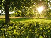 Esponga al sole splendere tramite le foglie di un ricciolo su erba Fotografie Stock Libere da Diritti