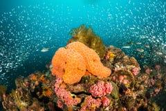 Esponja alaranjada e corais cor-de-rosa imagem de stock