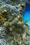 Esponja de Tubulate em um recife Fotografia de Stock Royalty Free