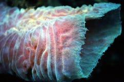 Esponja do Cararibe da câmara de ar Foto de Stock