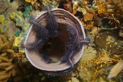 A esponja do mar da vida marinha colonizou por estrelas frágeis Fotos de Stock