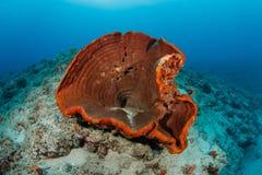 Esponja en filón coralino tropical imagen de archivo